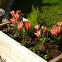Pinnochio Tulips in planter.....