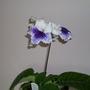 Streptocarpus Blue Leyla