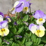 Self seeded Viola