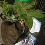 tetraparax papyrifer rex (Tetrapanax papyrifer (Rice paper plant))