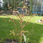 acer trifloum just coming to new leaf