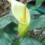 Arum creticum - 2010 (Arum creticum)