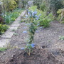 californian lilac for the front border (ceonothus)