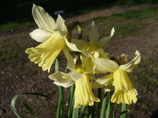 Miniature daffodils for Seaburngirl.