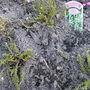 "Calluna vulgaris ""August Beauty"""