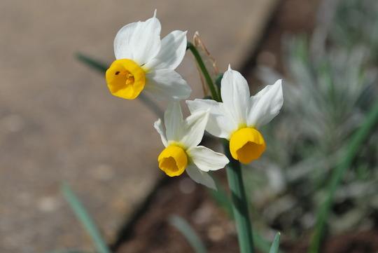 Narcissus.canaliculatus. (Narcissus canaliculatus)