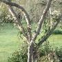 Damson_tree_withy_c._armandii