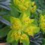 Euphorbia polychroma 'Golden Fusion' (Euphorbia polychroma)