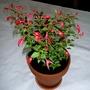 Fuchsia Chilli Red