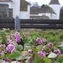 Bergenia planting, Craigtoun Park, St. Andrews, Fife.
