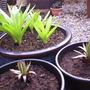 Alliumandlillies2