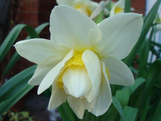 Narcissus Geranium Tazetta - April 2010