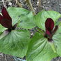 Trillium 