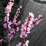 Pink Blossom Of A Ornamental Plum