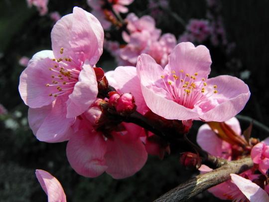 Ornamental Plum Tree Blossom