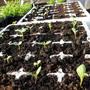 Zinnia Seedlings (Zinnia)