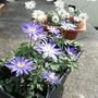 Anemone Blanda Blue and White