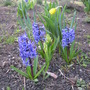 Very early this year...the hyacinthes scent wafts...So great!