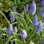 Muscari_grape_hyacinth