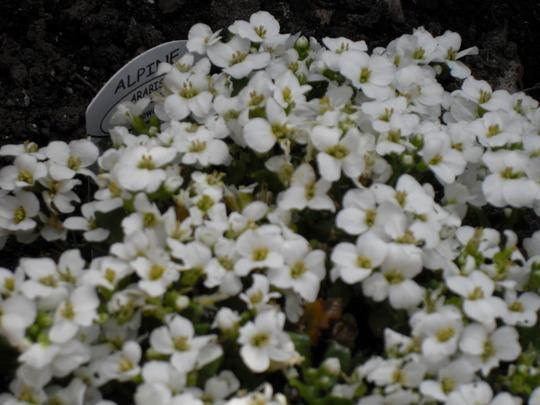 Arabis `Snowcap`Caucasus rockcress `Schneehaube` (Arabis alpina subsp.caucasica)