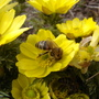 Honey bee (Adonis vernalis)