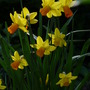Jet-fire, still flying...:o)) (Narcissus)