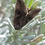 Moth on Lavender bush...........