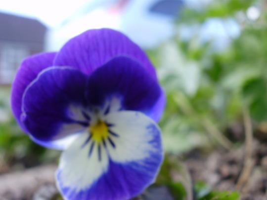 Viola (voila various)
