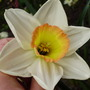Daffodil Merlin (Narcissus small cup)