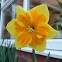 Un-named daffodil