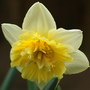 Double Ice King (Narcissus Bulbocodium (Hoop Petticoat Daffodil})
