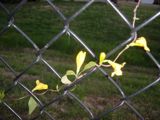Jasmine (Gelsemium sempervirens (Carolina Jasmine))