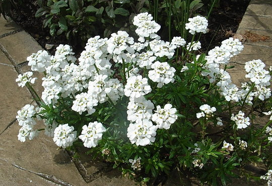 Iberis sempervirens 39 snowflake 39 grows on you for Iberis sempervirens