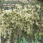 Clematis_x_cartmanii_moonbeam_