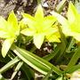 Tulip Urumiensis (Tulipa urumiensis)