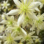Clematis_x_cartmanii_moonbeam_close_up