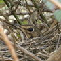 Thrush_sitting_on_nest