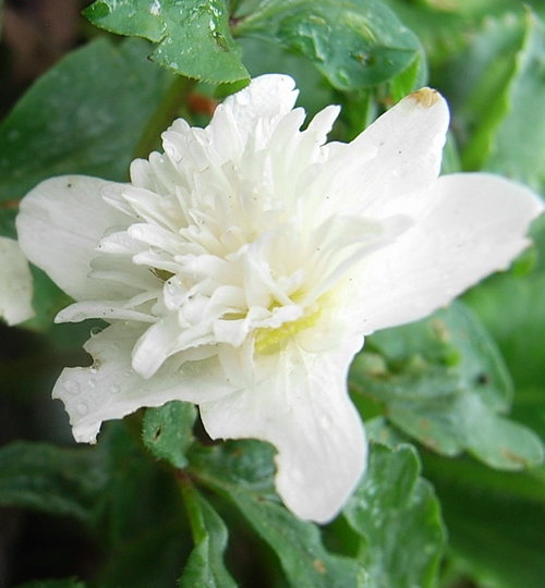 Anemone sylvestris 'Flore Pleno' (Anemone sylvestris)