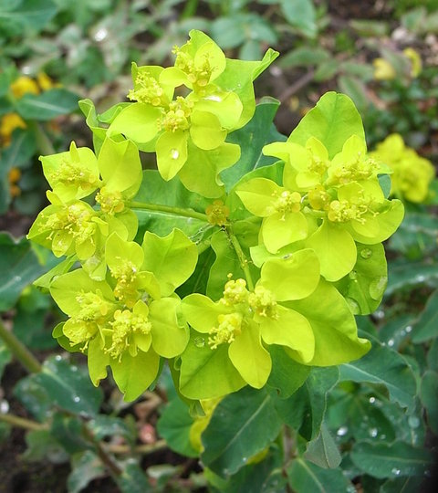 Euphorbia polychroma - close-up (Euphorbia polychroma)