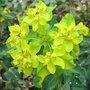 Euphorbia polychroma - close-up (Euphorbia polychroma)