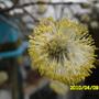 Kilmarnock Willow blossom