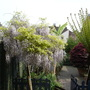 Potted Wisteria Tree Fern in 2006 (Wisteria sinensis (Chinese wisteria))
