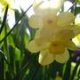 Daffodil Pacific Coast (Narcissus tazetta (Tazetta Daffodil))