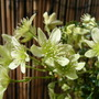 Clematis Early Sensation