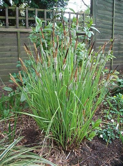 Carex morrowii 'Fisher' (Carex morrowii 'Fisher')