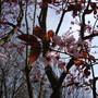 Flowering Plum, Prunus cerasifera 'Nigra' (Prunus cerasifera 'Nigra' - Purple Leaved Flowering Plum)