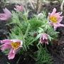 Pulsatilla vulgaris 'Pink Shades' (Pulsatilla vulgaris)