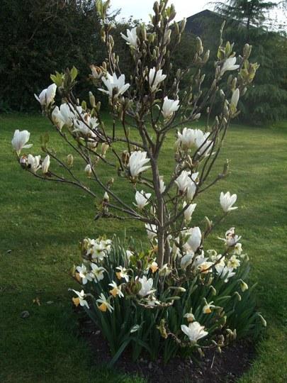 Magnolia & Narcissi (Magnolia x soulangeana (Saucer magnolia))