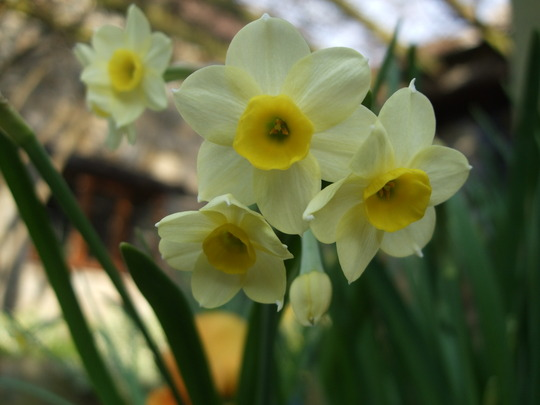 Narcissus 'Minnow' (Narcissus)