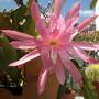 Epiphyllum 'Pink'  (Epiphyllum 'Pink')